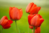 Red tulips in the spring garden — Stock Photo