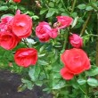 Red beautiful roses blooming in the garden — Stock Video