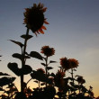 Beautiful sunflowers in bloom at sunset — Stock Video #29957919