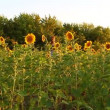 Stok video: Beautiful sunflowers bloom on field
