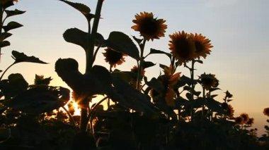 Krásné slunečnice kvetou za svítání — Stock video