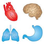Human organs. — Stock Vector