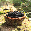 Fresh blackberry basket from the forest — Stock Photo