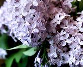 Liliowy — Zdjęcie stockowe