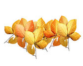 Beech leaves — Stock Photo