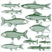 Fish freshwater vector 3 — Stock Vector