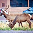 Portrait of deer stag near parking lot — Stock Photo