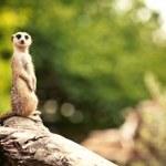 Meerkat (Surikate) — Stock Photo #35622543