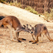 Kangaroo in Australia  — Stock Photo