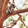 KoalBear on tree — Stock Photo #35622671