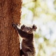 Koala Bear on the tree — 图库照片