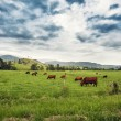 Cattle in a Field — Photo