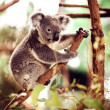 Koala Bear on the tree — Stok fotoğraf