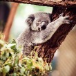 Koala Bear sleeping on the tree — Stock Photo