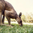 Australian kangaroo  — Stock Photo