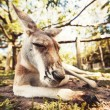 Australian kangaroo — Stock Photo #35622731