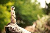 Meerkat (Surikate) — Stock Photo