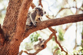 Koala Bear on the tree — Stock Photo