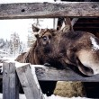 Elk behind the wooden fence — Stock Photo #39667019