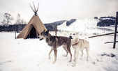 Dogs near the wigwam in winter — Stock Photo