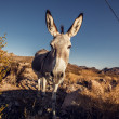 Stock Photo: Donkey in Mojave Desert