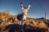 Donkey in the Mojave Desert — Stok fotoğraf