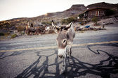 Donkey in the Mojave Desert — Stock Photo