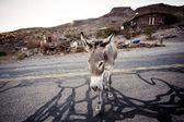 Donkey in the Mojave Desert — Foto de Stock