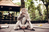 Long-tailed Macaque — 图库照片