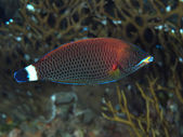 Chiseltooth wrasse — Stock Photo