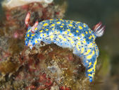 Nudibranch hypselodoris obscura — Foto Stock