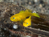 Ornate slippery goby — Stock Photo