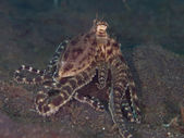 Mimic Octopus — Stock Photo