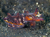 Pfeffer's Flamboyant Cuttlefish — Stock Photo