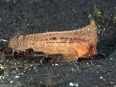Spiny waspfish — Stock Photo
