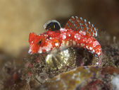 Starry dragonet — Stock Photo