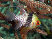Pajama Cardinalfish — Stock Photo