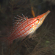 Longnose hawkfish — Stock Photo