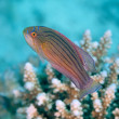 Red sea flasher wrasse — Stock Photo #43538793