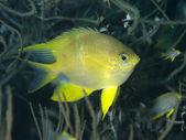 Złoty morskich ryb — Zdjęcie stockowe