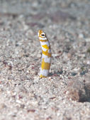 Splendid garden eel — Stock Photo
