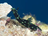 Nudibranch Nembrotha cristata — Stock Photo