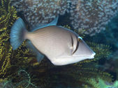 Yellowmargin triggerfish — Stock Photo