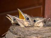 Fieldfare nestling — Stock Photo