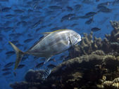 Yellow-dotted trevally — Stock Photo