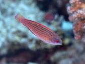Red sea flasher wrasse — Stock Photo