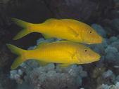 Yellowsaddle goatfish — Stock Photo