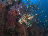 Common lionfish — Foto Stock