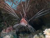 Pesci scorpione clearfin — Foto Stock