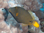Orange-stripped triggerfish — Stock Photo